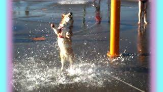 Adorable Corgi Loves Water Park!
