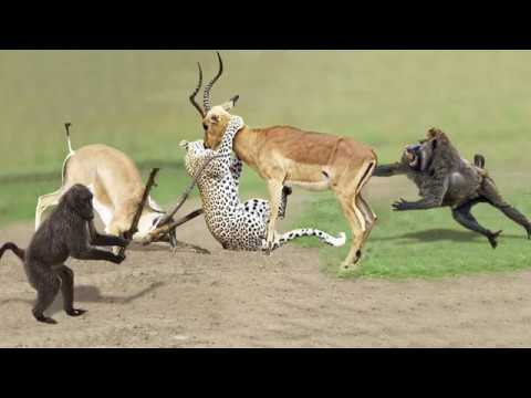 Amazing Baboon Save Impala From Leopard Jumps Tall Tree To Ambush | Leopard Hunting Fail
