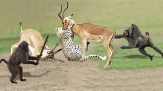 Amazing Baboon Save Impala From Leopard Jumps Tall Tree To Ambush   Leopard Hunting Fail