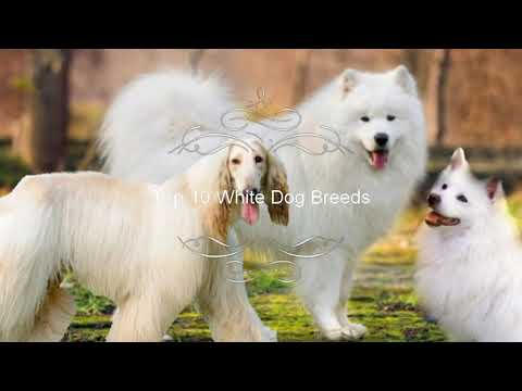 Top 10 White Dog Breeds