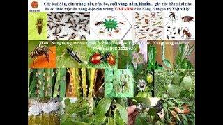 Thảo mộc đa năng V-VFARM diệt nhện, vẽ bùa, rày, rệp, nấm... thành công tại nhà chú Duệ - Bắc Giang.