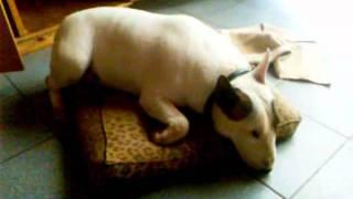 Simón Bull Terrier (2 Años)