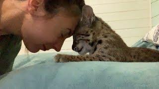РЫСЕНОК УЧИТСЯ БОДАТЬСЯ / Бобкэт пытается дружить с кошкой
