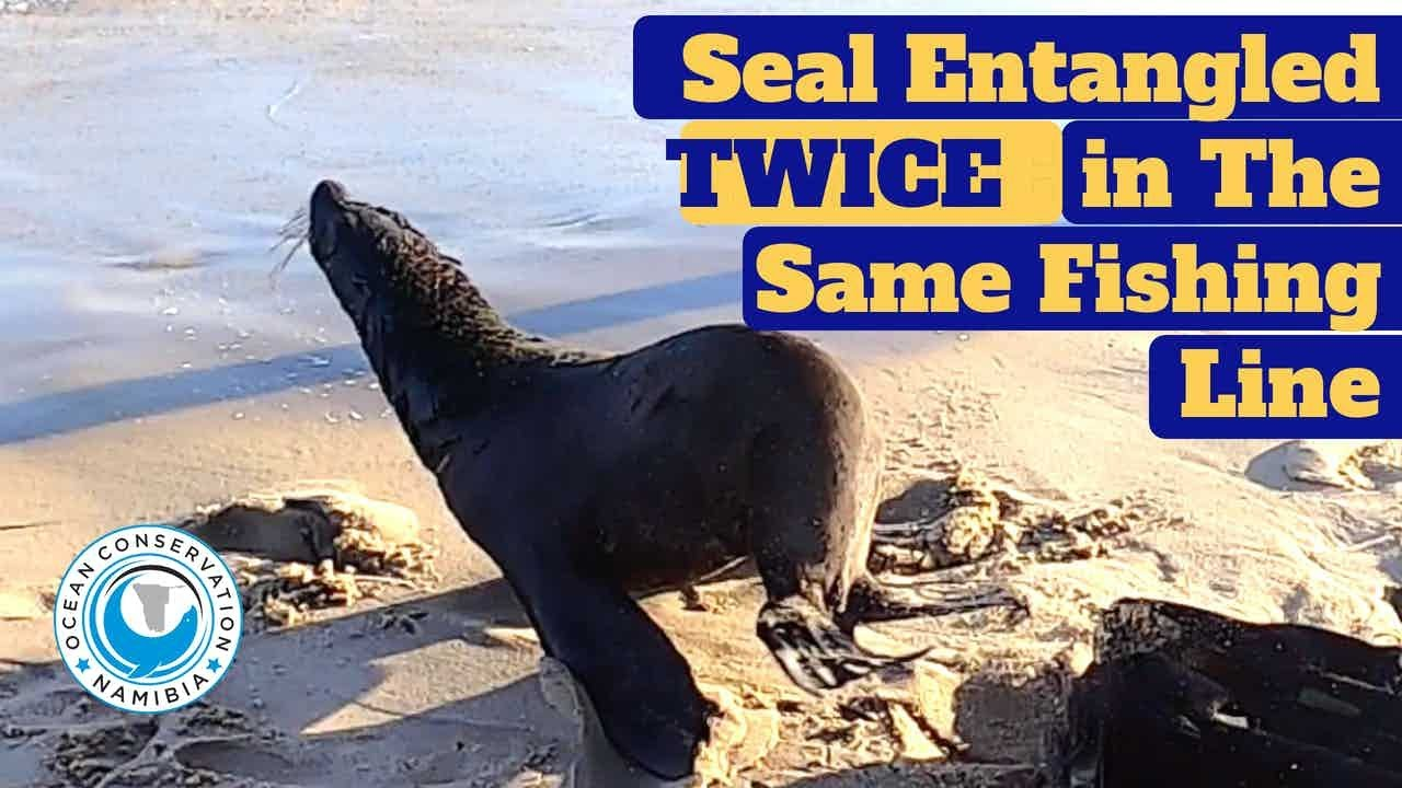 Seal Entangled TWICE in The Same Fishing Line