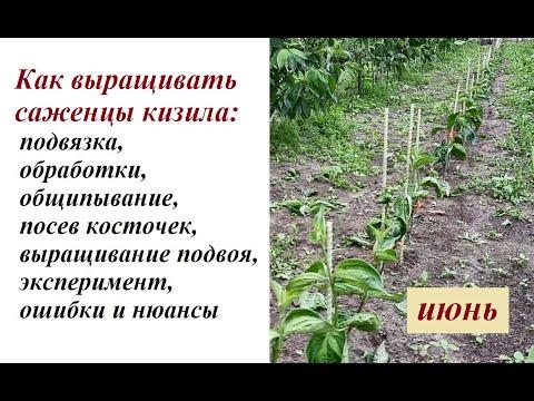 Как выращивать саженцы: кизил-операции июня