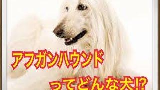 ペットで犬を飼おうと迷っている方へ〜アフガンハウンド〜 世の中には様...