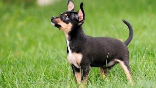Презентация породы русский той-терьер на World Dog Show 2016