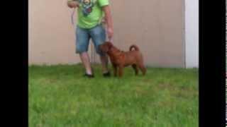Cachorro Shar Pei General Rojo Calidad.