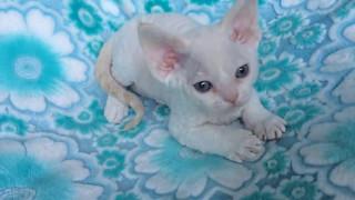 ребенок-котенок. девон-рекс. малышка ЛИса