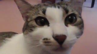 Как кошка ведёт себя во время течки?