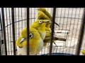 Terapi Pleci Macet Kumpulan Suara Pleci Ombyokan  Mp3 - Mp4 Download