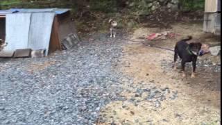 2016.6.16、福島県県中地区某村、飼い主も触ったことのないと...