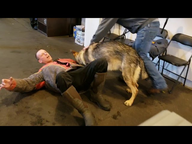 Why we choke dogs off in Bite Work - Protection Training 101