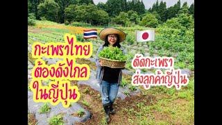 ตัดกะเพราสวยๆส่งลูกค้าญี่ปุ่น กะเพราไทยต้องดังไกลในญี่ปุ่น #ปลูกผักไทยในแดนหิะนีกะตะ[2020Ep112]