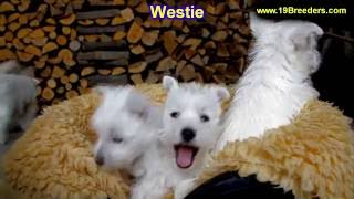 West Highland Terrier, Puppies, For, Sale, In, Columbus, Ohio, Oh, North Ridgeville, Mason, Bowling