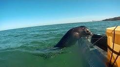 Seehund hält Mindestabstand nicht ein !
