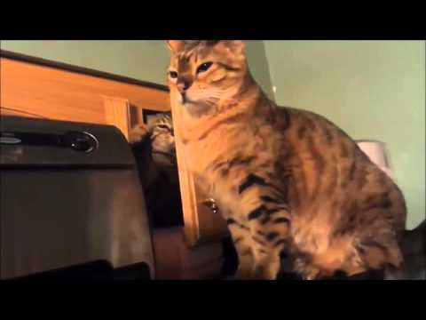 Cupboard Ninja Cat Attack