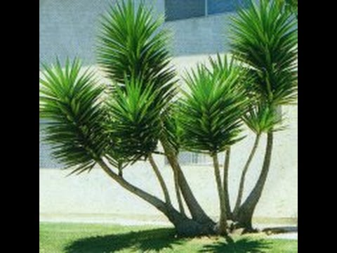 How To Grow The Soft Tip Yucca From Cuttings   A Great Agave Plant To Grow  In Your Yard!   HD   YouTube