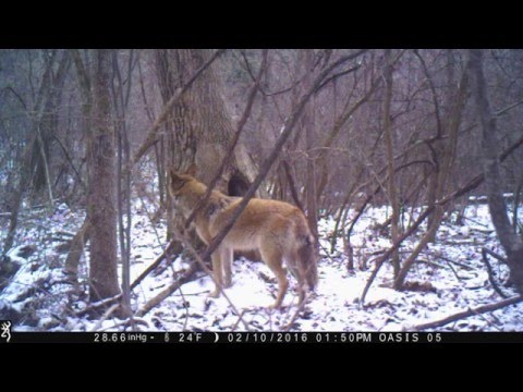 Coyote Looking For Porcupine In Central Pennsylvania