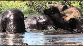 Amboseli Elephants on a trip to the swamp