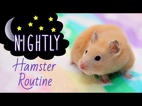 🌜Nightly Hamster Routine with Kashi! (Easy Version)