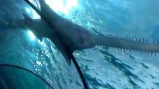 The saw shark at the aquarium