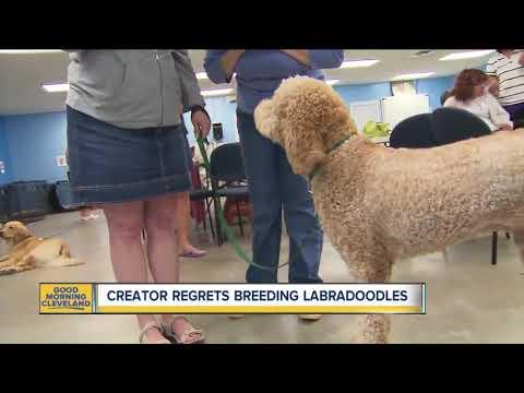 Labradoodle creator regrets dog breeding trends