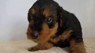エアデールテリアの子犬販売詳細情報はこちらからhttp://dog-lien.com/p...