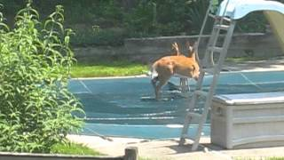 Rare Footage of a family of deer playing in a pool on a hot day