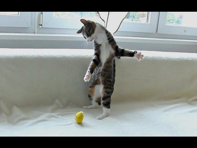 Crazy Cat Attacks