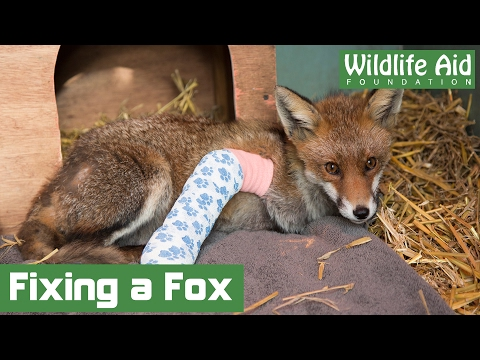 Specialist surgery saves fractured fox