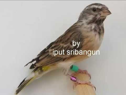 Suara Burung Blackthroat mp3