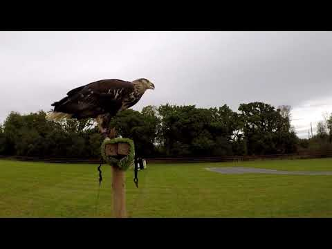 Marley the African Fish Eagle at Adare Country Pursuits, County Limerick, Ireland