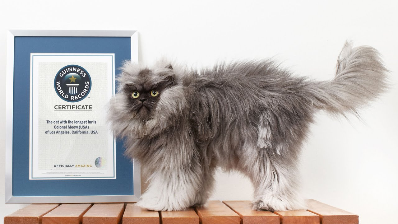 THE WORLDS FLUFFIEST CAT YouTube - 25 of the fluffiest cats ever