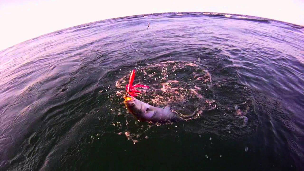 Fishing monster bluefish cape cod mass deep sea fishing for Cape cod deep sea fishing