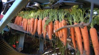 Amazing Carrot Harvesting Machine Modern Agriculture, Great Fast Working Skills of The Workers