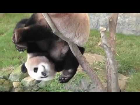 Pandas trying to make themselves extinct - Funny fails compilation