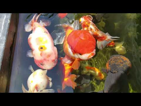 Planted Goldfish Pond