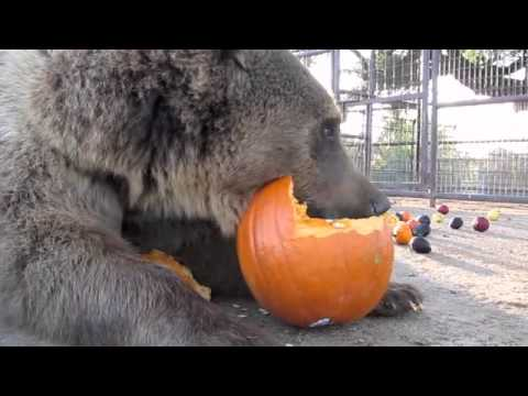 Grizzly Bear Eating Pumpkin