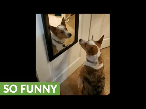 Confused dog barks at his reflection in the mirror