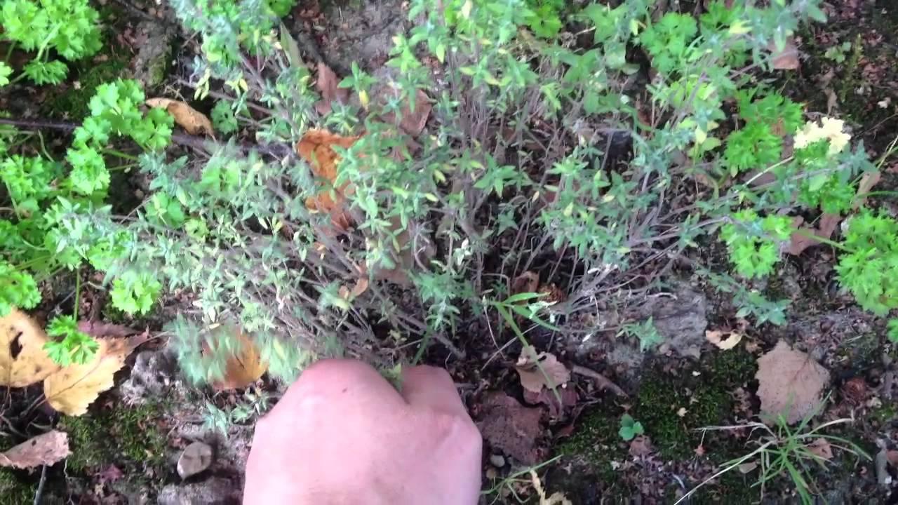 r colter thym conseil jardinage comment r colter du