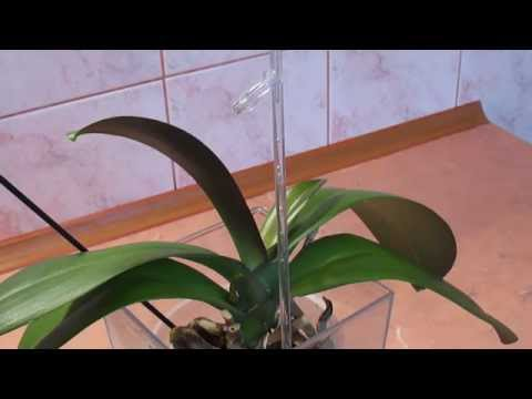 Орхидея, фаленопсис растит цветонос.Уход
