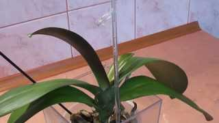 Орхидея, фаленопсис растит цветонос.Уход(, 2014-12-24T12:20:29.000Z)