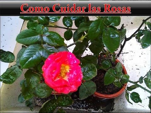 Como cuidar las rosas mantenimiento de rosas rosales en macetas youtube - Como cuidar las hortensias en maceta ...