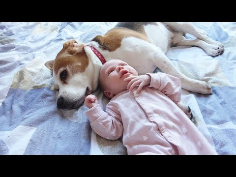 How Protective Beagle Dogs Can Be with a Newborn Baby | Our Family First Day with Baby Amelia