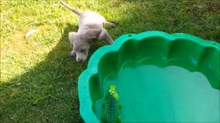 Diesel (long Hair Weimaraner Puppy) 9 Weeks 1 Day Old, Playing In & Out Of Shell Pool With Water