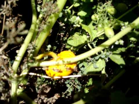 Walking the Vegetable Patch: This Year's Pumpkins