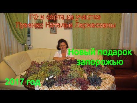 Новый Подарок Запорожью - беспроблемный урожайный сорт винограда (Пузенко Наталья Лариасовна)