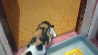 Сфинкс,лысый кот ходит в туалет на унитаз