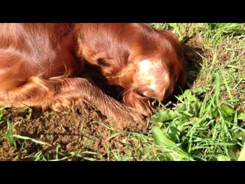 "Honey the Irish Setter - ""I KNOW there's a rabbit in there ...!"""